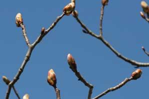 Bachblüte Chestnutbud