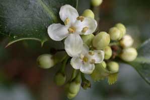 Bachblüte Holly