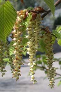 Bachblüte Hornbeam