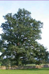 Bachblüte Oak