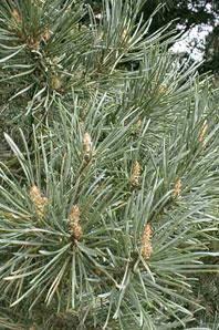 Bachblüte Pine