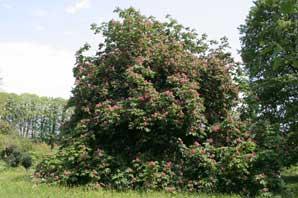 Bachblüte Red Chestnut