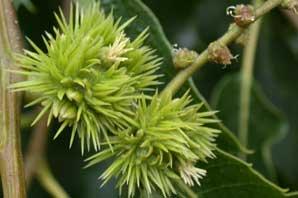 Bachblüte Sweet Chestnut