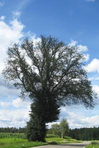 Bachblüte Elm - Ulme